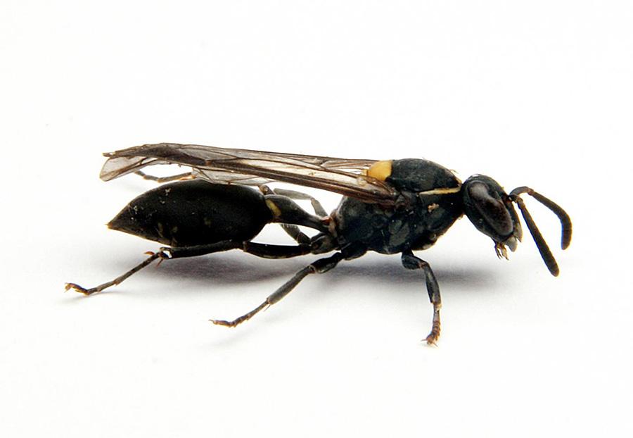 Δηλητήριο βραζιλιάνικης σφήκας σκοτώνει καρκινικά κύτταρα