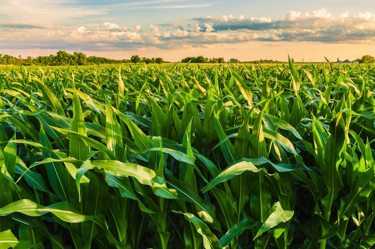 Η κλιματική αλλαγή μειώνει τις παραγωγές σε σιτάρι, ρύζι, καλαμπόκι