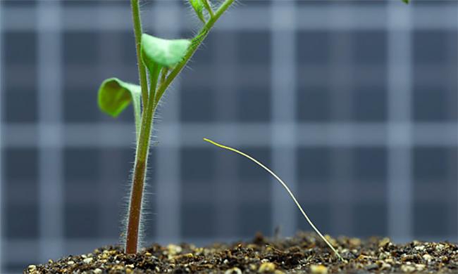 Cuscuta pentagona: Το φυτό-δράκουλας