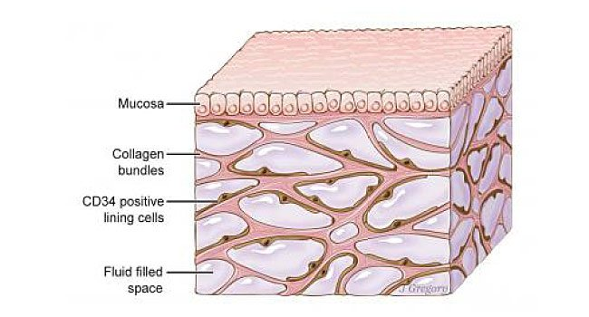 interstitium anatomy