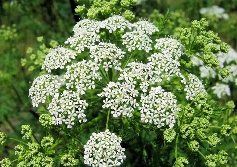 Σκιαδανθή Φυτά