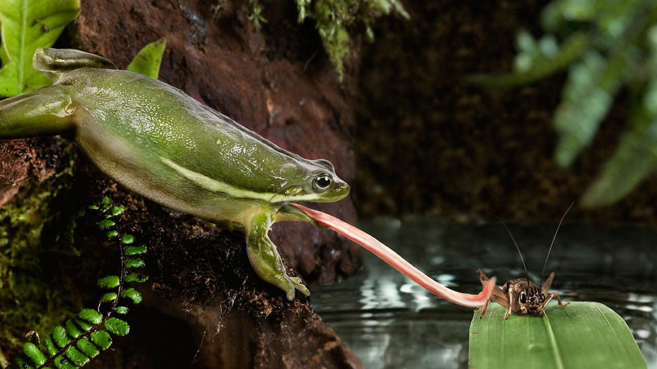 Πώς μπορεί ο βάτραχος να αρπάζει την τροφή του μόνο με τη γλώσσα του;