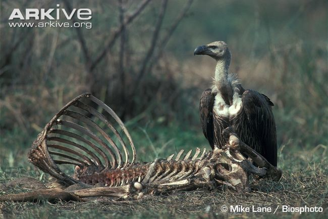 Asian-white-backed-vulture-at-carcass